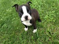 Handsome male Boston Terrier puppy ready to go. Black,