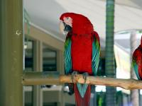 BOTH Green Wing Macaw Parrots Now Available For New