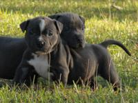 We have Healthy American Pitbull Puppies For New
