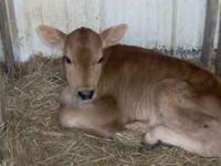 Jersey Bull calves $110 each. Holstein Bull Calves $125