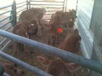 Started bottle calves some 2-3 weeks old all have had