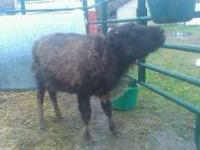 4 1/2 MONTH OLD BOTTLE FED BUFFALO HIEFER CALF. VERY