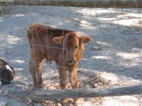 I have three young, healthy bottle-fed calves for sale.
