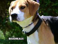 Boudreaux is a handsome 1.5-year-old Walker hound mix