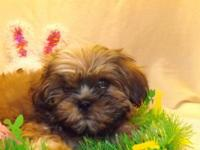 This adorable Shih Tzu puppy was born on December 9th
