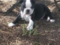 Terrific Boston Terrier infants ** Registered C.K.C