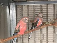 I have a Bourke parakeet pair ready to breed. Text me