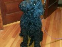 Poodle cross looking for a new home. He loves everyone