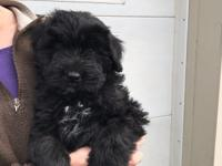 Beautiful female Bouvier pup is ready to go to a loving