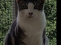 My story Bowie, a dark grey and white tabby, was