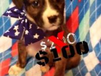BOXADOR PUPPIES FOR SALE! (PRICE HAS BEEN REDUCED FROM