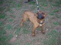 Boxer - 052-13 - Medium - Adult - Female - Dog Hello,