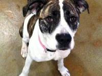 Boxer - 061-13 - Medium - Baby - Female - Dog