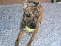 Boxer - 110 Cody - Medium - Adult - Male - Dog Adoption