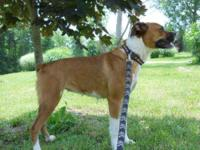 Boxer - 1955 - Kara - Medium - Adult - Female - Dog