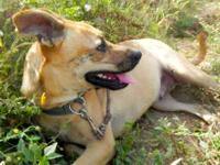 Boxer - (a) Tezi - Medium - Adult - Female - Dog THE