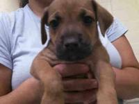 Boxer - A099102 - Small - Baby - Male - Dog