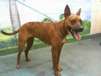 Boxer - A1622174 - Large - Adult - Male - Dog
