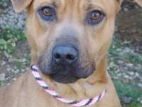 Boxer - Abby - Medium - Young - Female - Dog Abby,