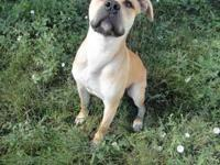 Boxer - Ace - Medium - Young - Male - Dog Hello