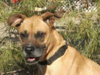 Boxer - Ali - Medium - Adult - Female - Dog ALI is a