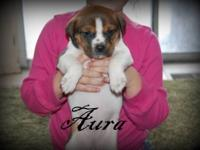 Boxer - Asteria - Large - Baby - Female - Dog These
