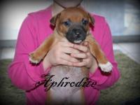 Boxer - Aura - Large - Baby - Female - Dog These