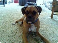 Boxer - Babs - Large - Young - Male - Dog