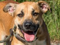 Boxer - Babs - Medium - Adult - Female - Dog 2 yrs old