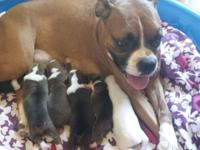 Boxer pup. Will be ready mid November. Pups had their