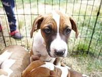 Boxer Beagle Puppies- Baird's story The adoption fee