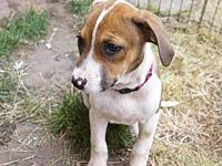 Boxer Beagle Puppies- Freckles's story The adoption fee