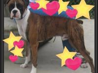 Boxer - Big Ann - Large - Adult - Female - Dog If