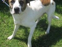 Boxer - Bo - Large - Adult - Male - Dog Wonderful guy,