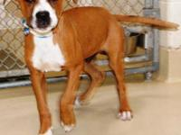 Boxer - Boxer Mix - Large - Young - Male - Dog Date