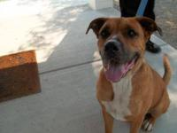 Boxer - Bruno - Large - Adult - Male - Dog