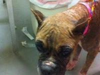 Boxer - Calla - Large - Adult - Female - Dog More info