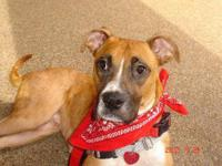 Boxer - Cash The Boxer - Large - Adult - Male - Dog '