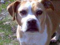 Boxer - Cassie - Medium - Adult - Female - Dog Cassie
