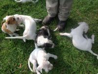 8 week old Boxer and Catahoula-Bulldog cross puppies