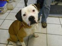 Boxer - Chance - Large - Adult - Male - Dog