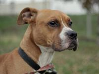 Boxer - Chance - Medium - Young - Male - Dog Chance is
