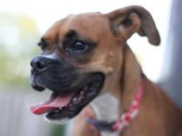 Boxer - Charolette - Medium - Young - Female - Dog