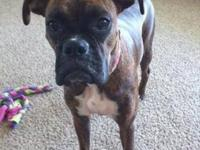 Boxer - Chloe Belle - Medium - Adult - Female - Dog I'm
