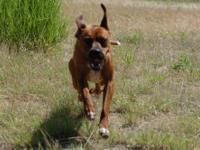 Boxer - Churchill - Large - Young - Male - Dog Hi ! My