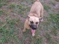 Boxer - Cleo - Medium - Adult - Female - Dog Cleo is