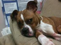 Boxer - Clover - Medium - Adult - Male - Dog ***ADOPTER