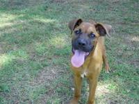 Boxer - Crimson - Large - Young - Female - Dog Crimson