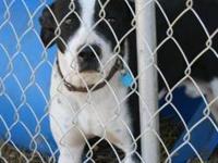 Boxer - Crixus - Medium - Young - Male - Dog