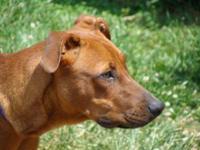 Boxer - Davey-sponsored $40 Adoption Fee - Large -